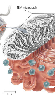 Eukaryotic Organelles - Golgi Body