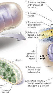 Metabolic Organelles - Mitochondria, ATPase, and Chloroplast (half-micrograph/half-illustration)