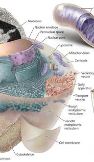 Eukaryote Organelles - Mitochondria & Centrioles