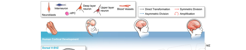 Timeline of Human Cortical Development and Malformation Stages