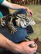 Severus the Tegu
