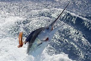 New Zealand striped marlin.jpg