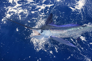 Beautiful white marlin real bill fish on