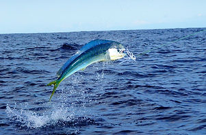 Mahi Mahi or Dolphin fish jumping in Cos