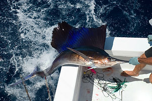 Sail Fish out of the water.jpg