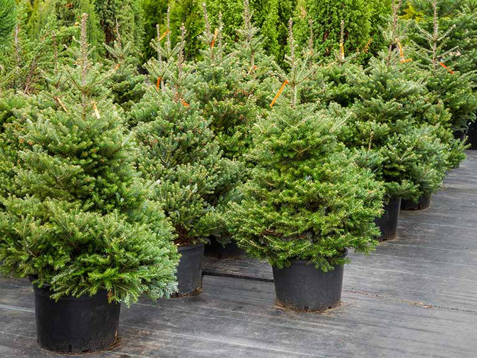 Aftercare of Living Pot-Grown Christmas Trees
