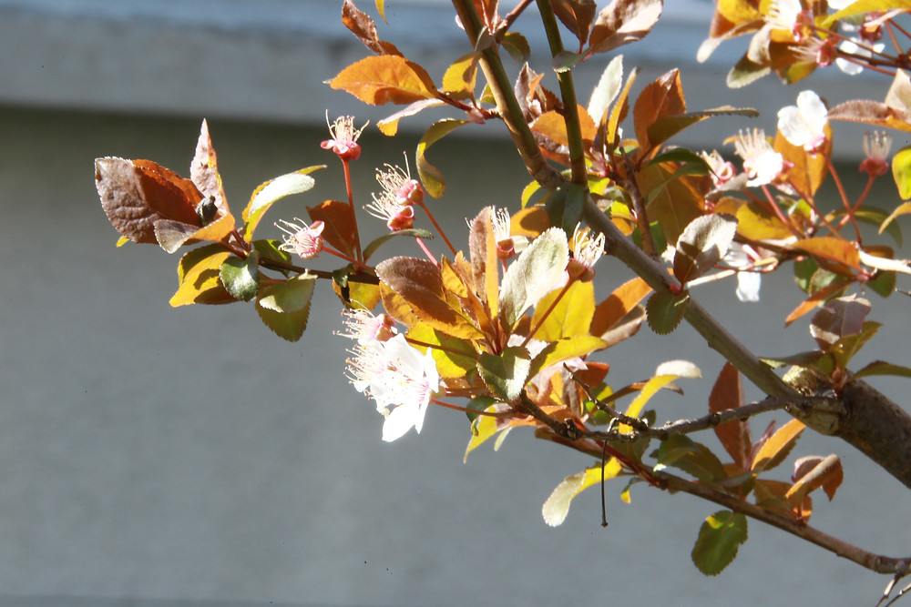 Kirschpflaume - Prunus cerasifera