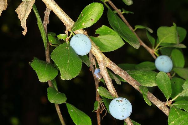 prunus spinosa frucht.JPG
