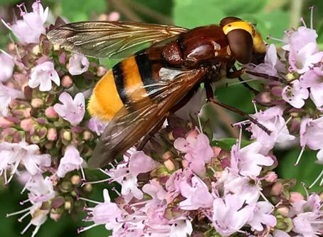 Hornissenschwebfliege - Volucella zonaria