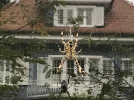 Gartenkreuzspinne