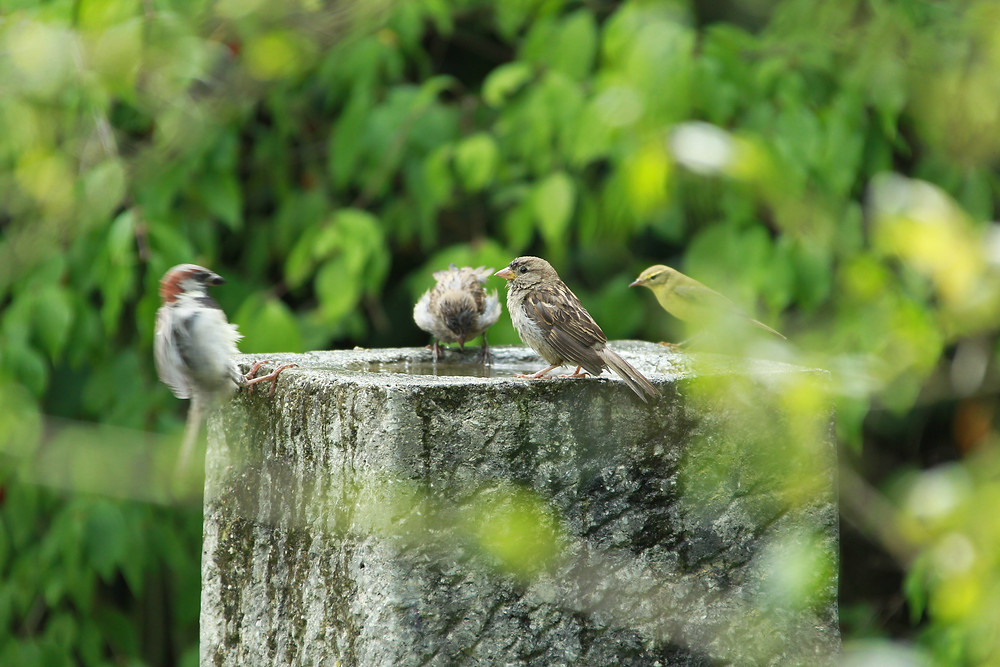 Hausspatzen und Waldlaubsänger am Vogelbad