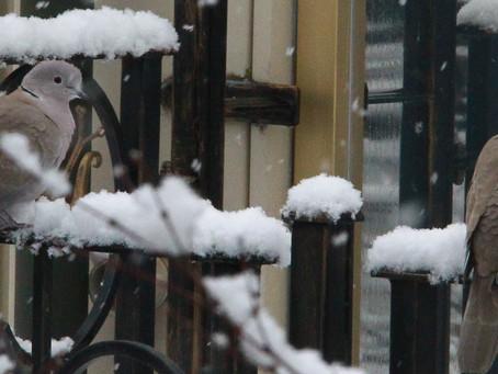 Türkentauben im Schnee