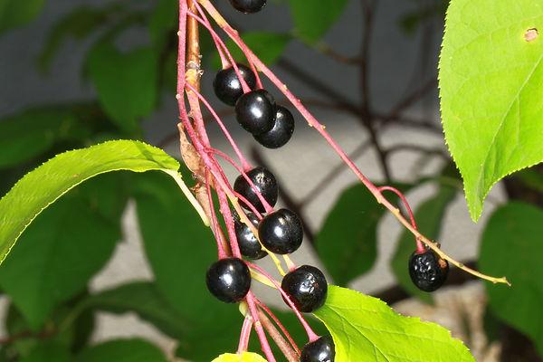 prunus padus frucht.JPG
