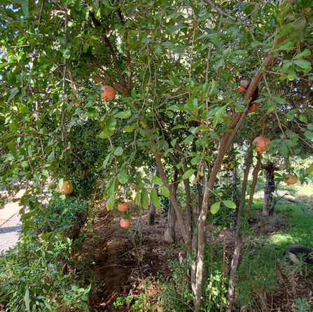 Pomegranate Dar Gonzo Garden