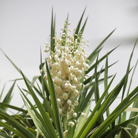 Yucca Aloifolia Dar Gonzo Garden