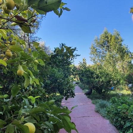 Citrus Tree Dar Gonzo Garden