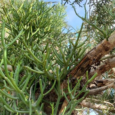 Euphorbia Tirucalli Dar Gonzo Garden