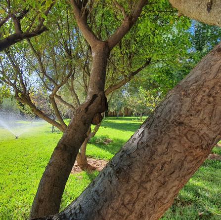 Prunus Dar Gonzo Garden