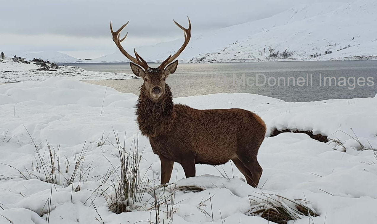 snow stag 1  wm.jpg