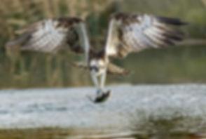 fishing osprey II.jpg