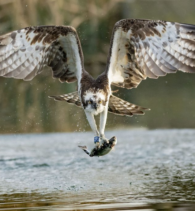 fishing osprey II.jpg