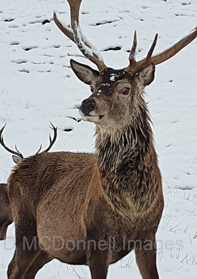 snow stag wm.jpg