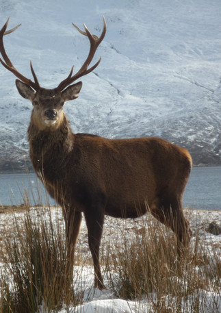SNOW STAG CLOSE UP.jpg