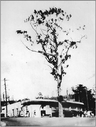 A eucalyptus believed to have been planted by Walter Blair in 1878 once grew in the inters