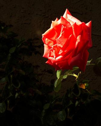 Dramatic Pink Rose 4X6 inch print