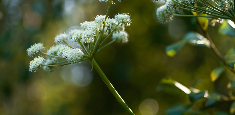 White%20flower%20of%20angelica%20bloomin