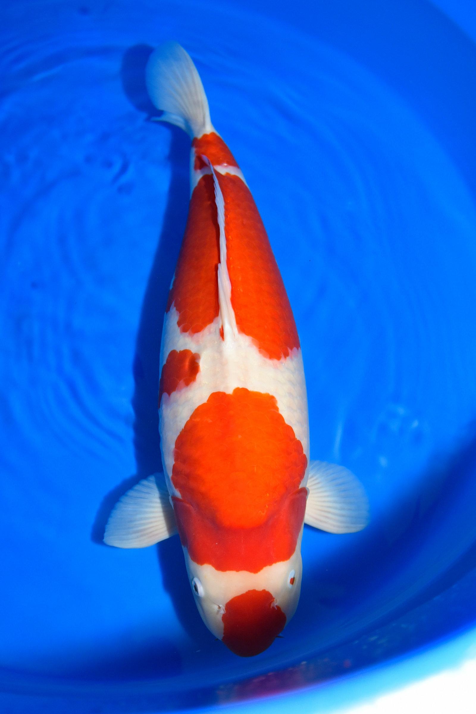 Kohaku 78 cm - Dainichi