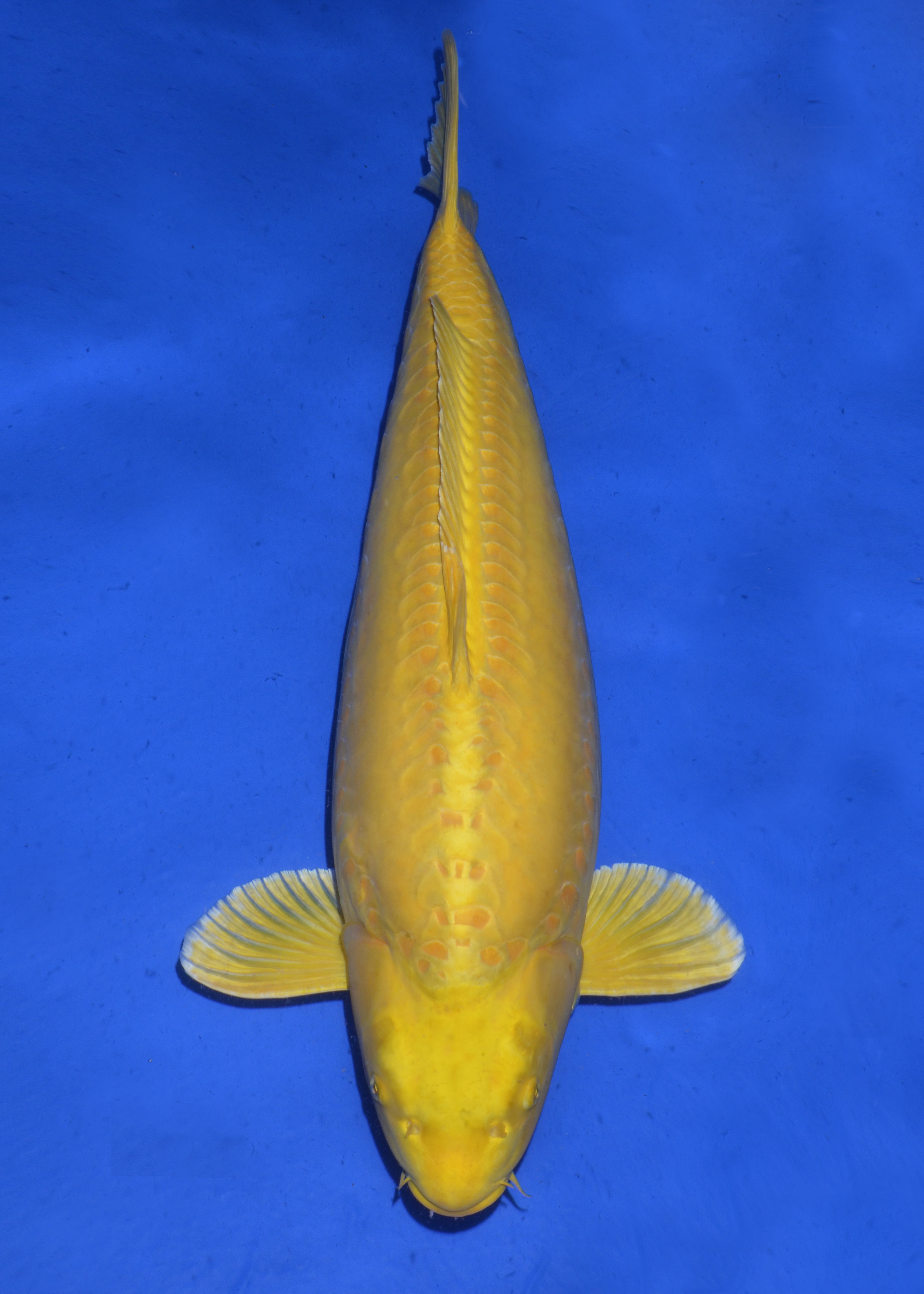 Doitsu Y. Ogon 84 cm - Momotaro