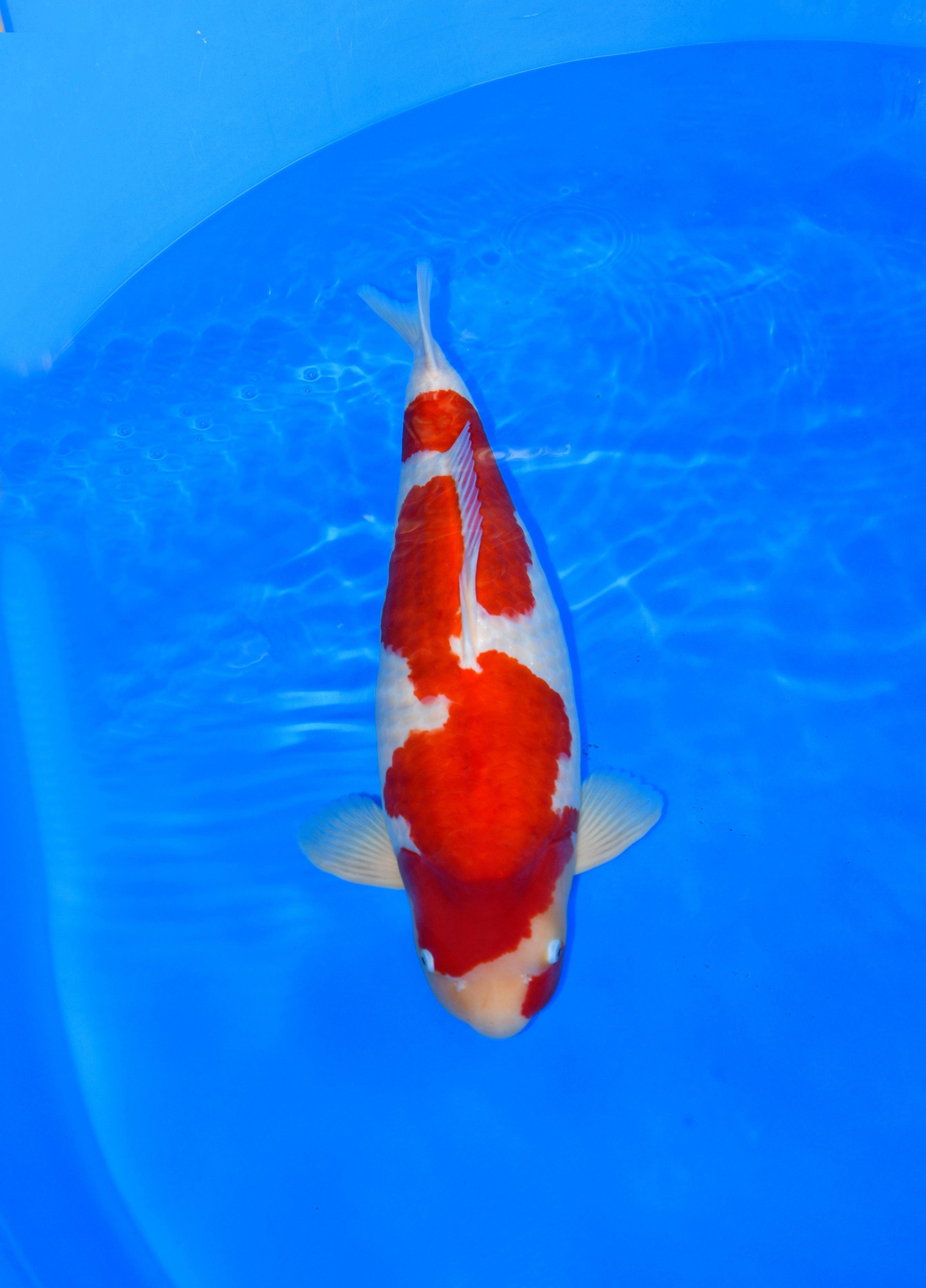 Inazuma Kohaku 75 cm - Maruyama