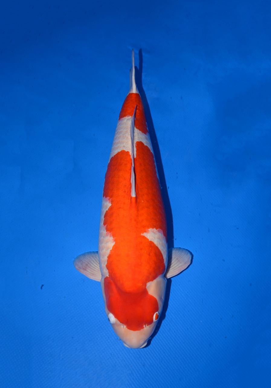 Kohaku 94 cm - Dainichi