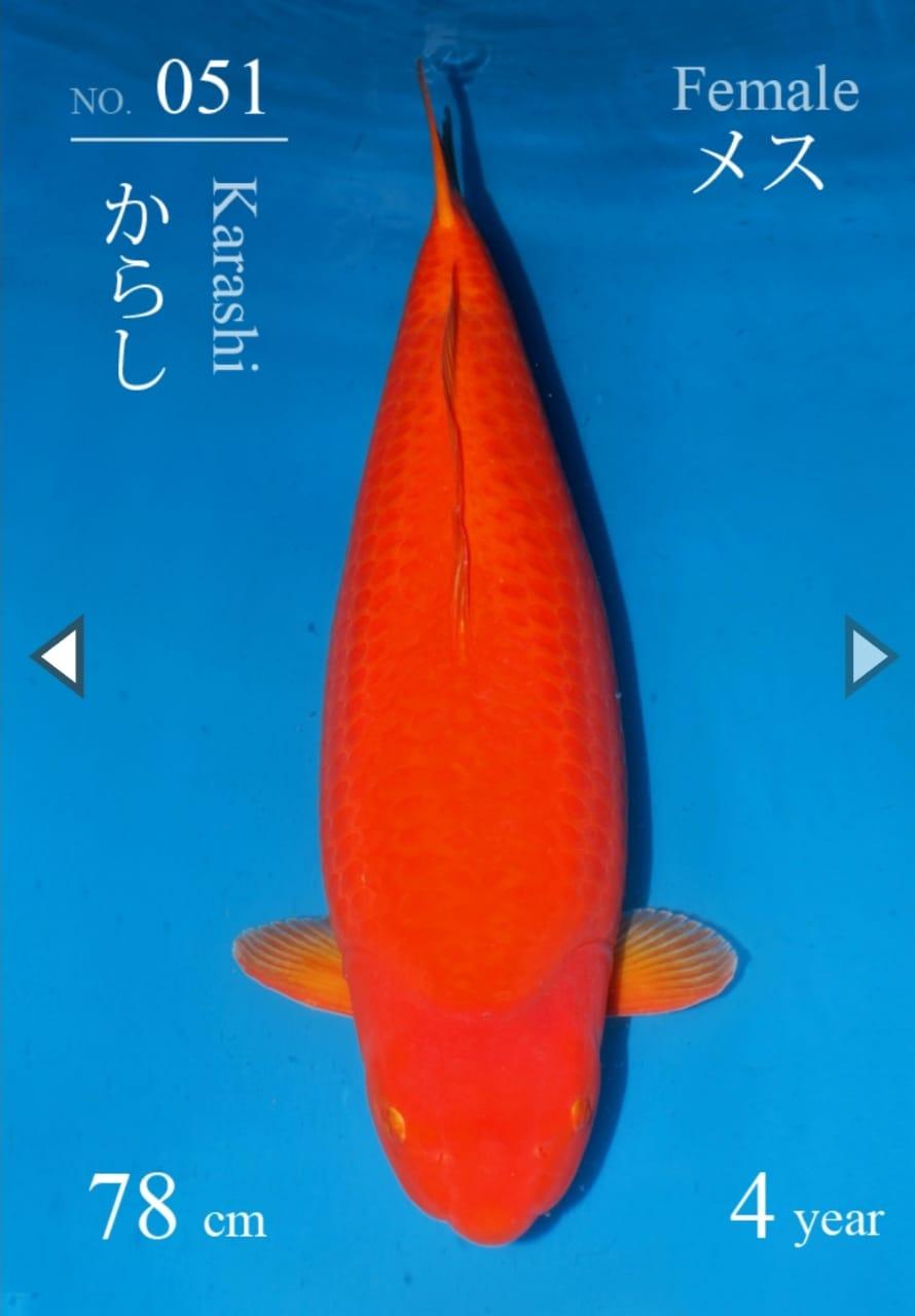 Benigoi 78 cm - SFF