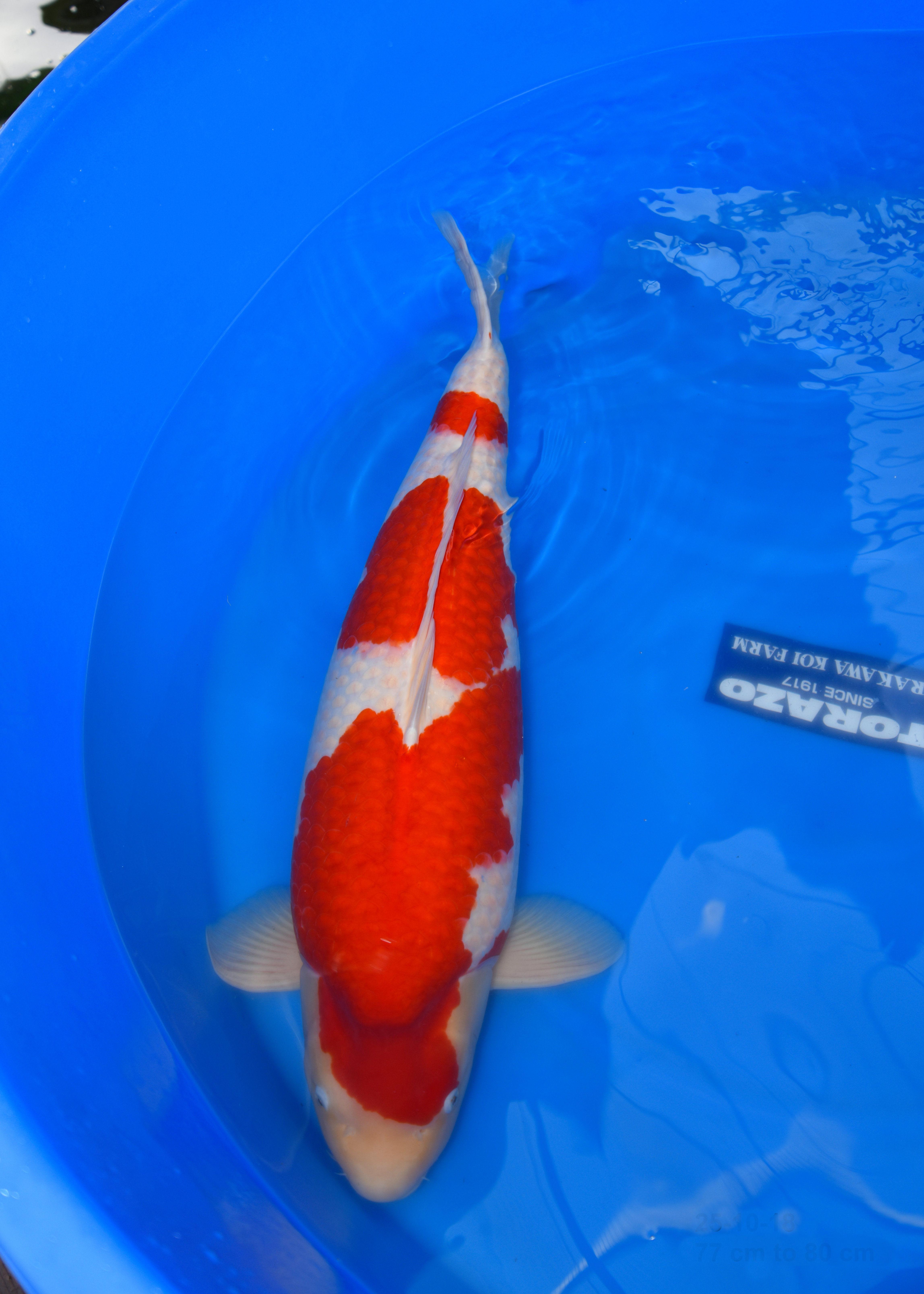 Kohaku 82 cm - Torazo