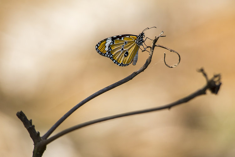 Canva - Yellow And Black Butterfly On Br
