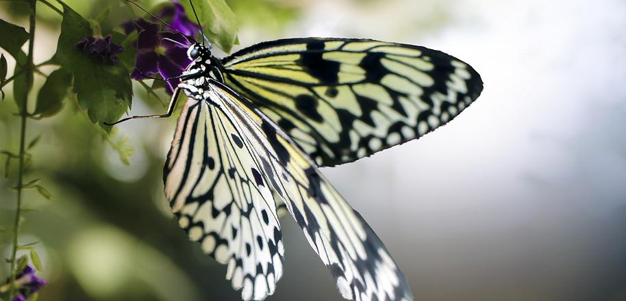 papillon 3.png