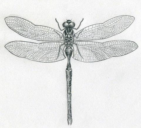 dragonfly-drawings11.jpg