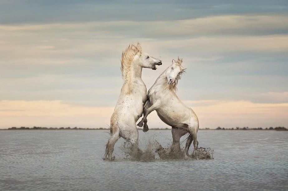 horses of camargue by wix photographer Tuzlukova