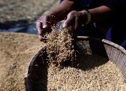 Bayer_rice