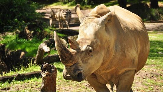 Oportunidade de conhecer os Rinocerontes bem de perto na Disney