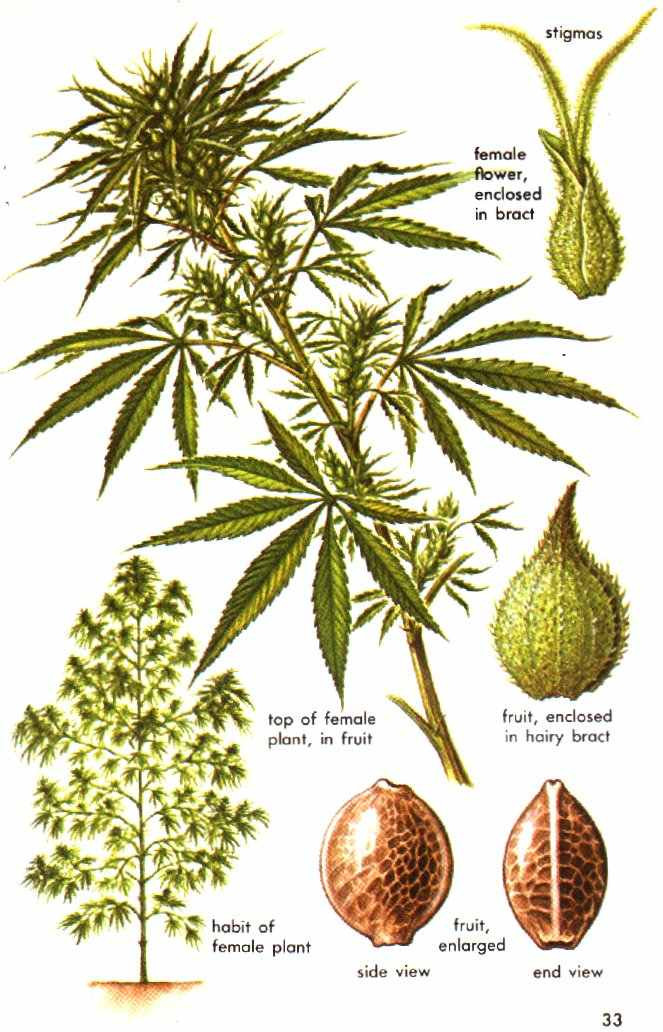 Cannabis Marijuana Female Plant.jpeg