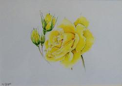 Rose Golden Wedding by Marion Thomsett
