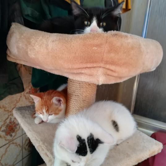 Jungkatzenbande