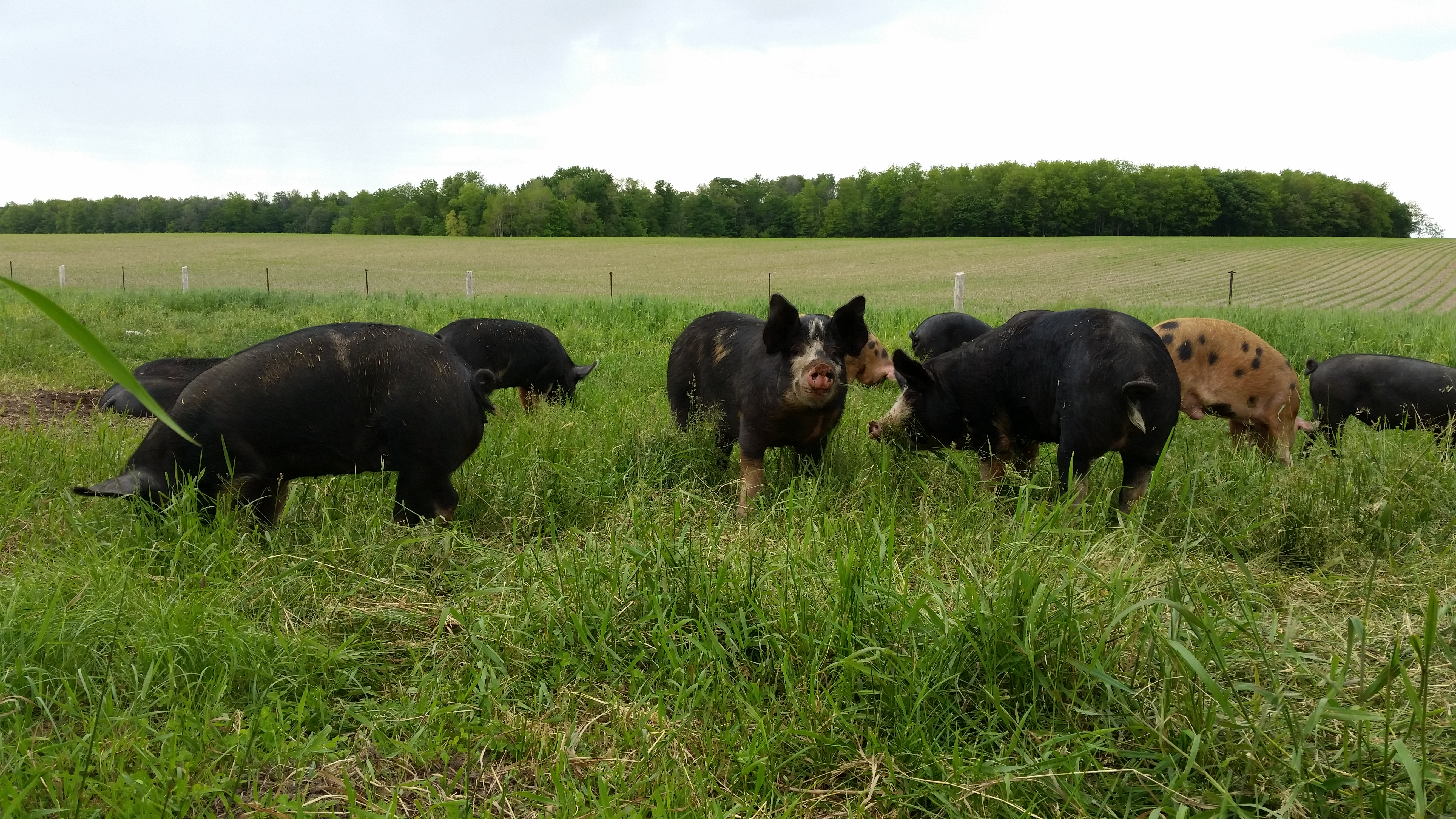 Taylor Heritage Hogs Pasture Pigs