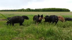 Taylor Heritage Hogs Pasture Pigs