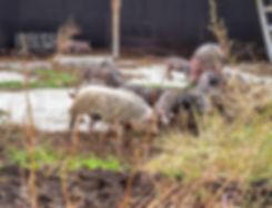 Mangalitsa Pasture-Raised Pork