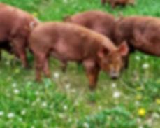 Tamworth Pasture-Raised Pork