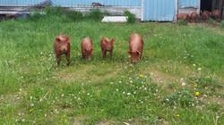 Taylor Heritage Hogs - Tamworth
